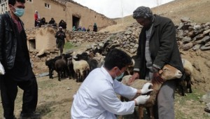 Sheep distribution for vulnerable families – Bamyan Province